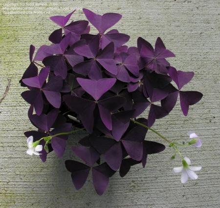 plant met vlinderachtige paarse blaadjes (ikeaboek