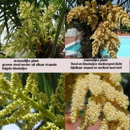 bloeisel trachycarpus fortunei