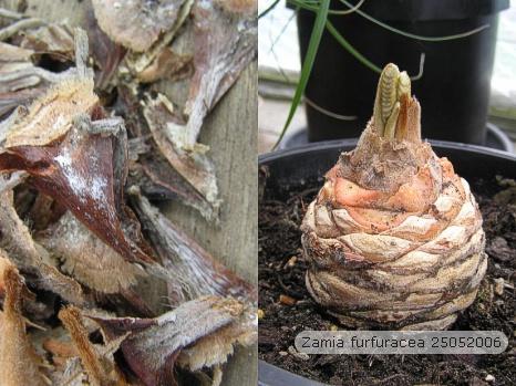 Over een sagopalm