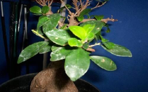 Bonsai Ficus witte uitslag