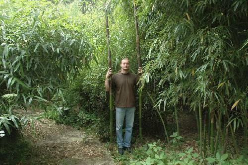 bamboe dikke stam