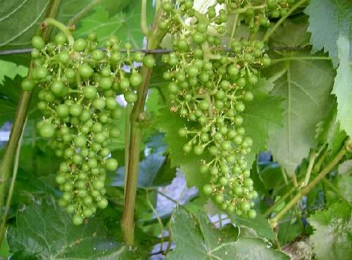 druiven krenten