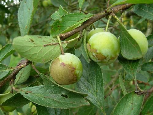 Zieke perenboom en pruimenboom?