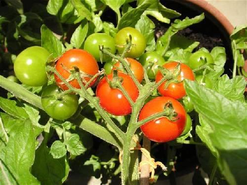 Wanneer de tomaten plukken
