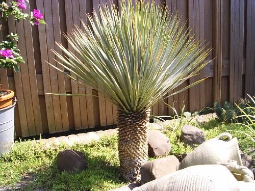 Yucca rostrata dood?