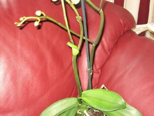 rare groei phalaenopsis