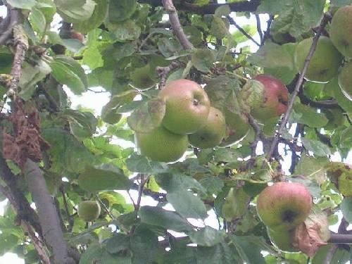 Welke appelboom is dit