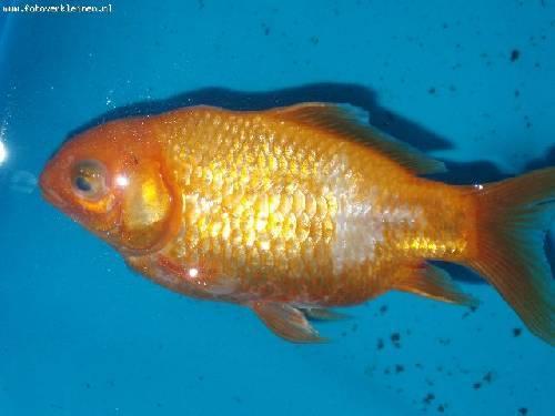 sterfte bij goudvissen