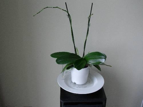wat moet ik nu doen met mijn Phalaenopsis?