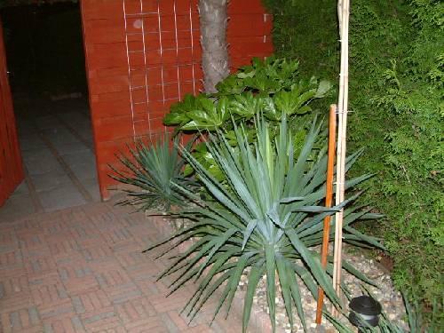 Yucca gloriosa's in bloei, meerdere bloemstengels!