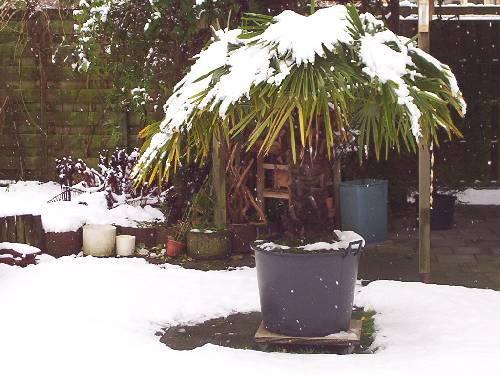 trachicarpus fortunei winterklaar maken
