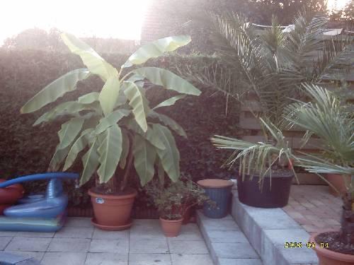 Foto trachycarpus fortunei