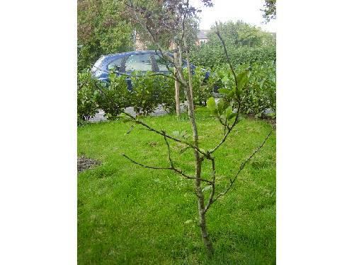 magnolia, rare vorm