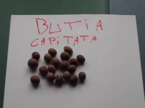 4 ) Butia yatay en capitata /min 7 gr en - 12 gr.