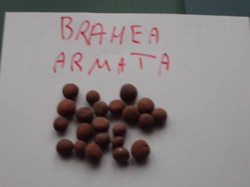6 ) Brahea armata -12º