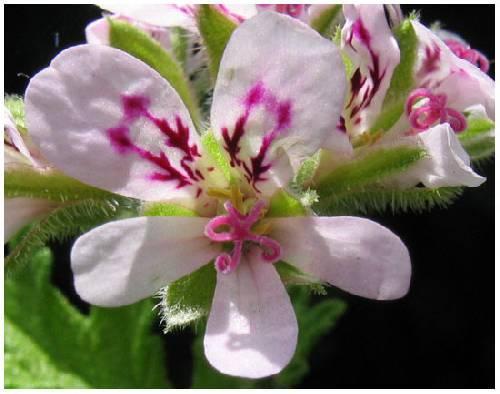 bloemen bij citroengeraniums