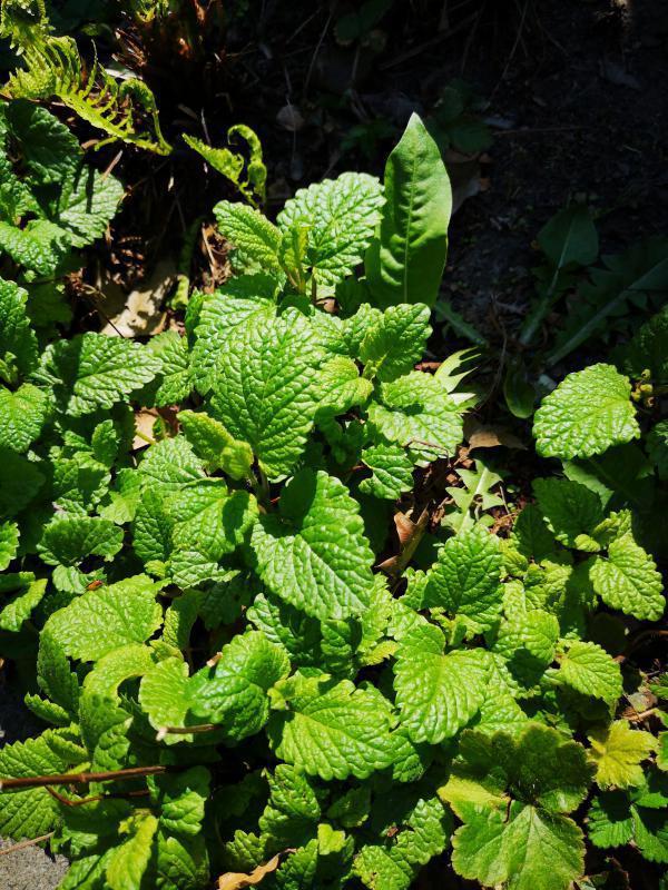 Plant 3 (lijkt bodembedekker)