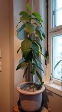 Hele plant