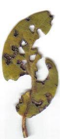 Viburnum met kleine bruine gaatjes in het blad