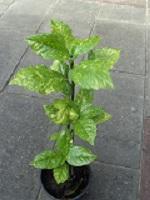 wat is dit voor plant