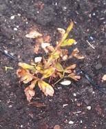 Bruine bladeren pioenroos