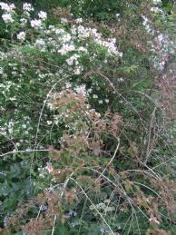 kolkwitzia heeft bruine takken