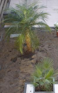 verzorging palm in de winter