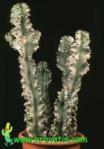 Euphorbia candelabrum variegata
