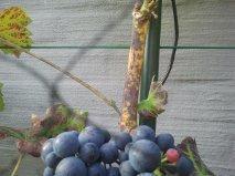 druivelaar krijgt zwarte vlekken