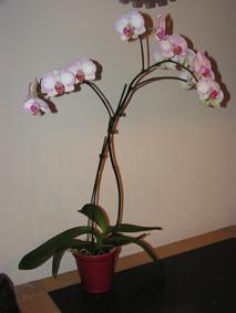 De groene bladeren van mijn phalaenopsis hangen!