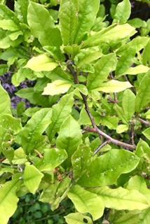Stermagnolia met lichtgroen, bijna gele bladeren