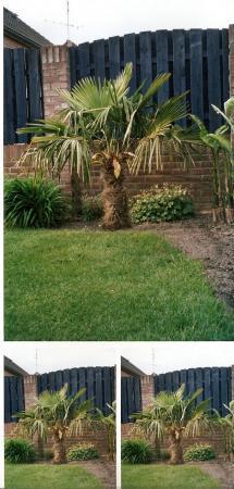 foto trachycarpus 2001 en 2008