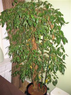 naam plant + gele bladeren (hulp gevraagd)