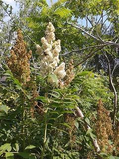 welke struik is dit? Sorbaria sorbifolia