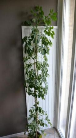 Welke (kamer)plant is dit?