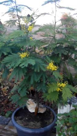 Mimosa al in bloei