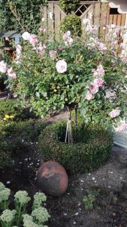 weet iemand de naam van deze roos