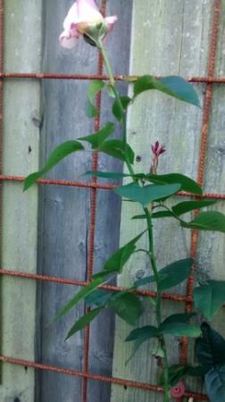 Nieuwe roos laten vertakken d.m.v. snoeien