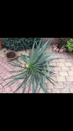 Stekken yucca