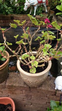 Pelargonium (geranium) snoeien/stekken