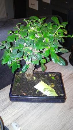 wat voor soort is mijn 2de bonsai boompje