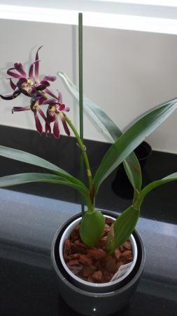 Encyclia lancifolia x Epicattleya Miva Etoil