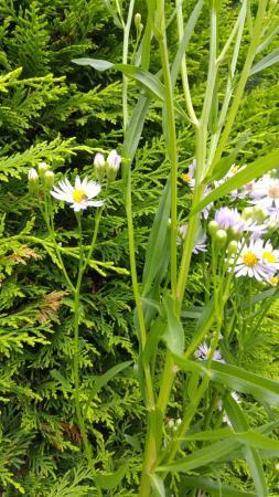 Identificatie tuinplant