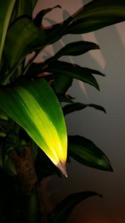Dracaena fragrans massangeana bruine punten