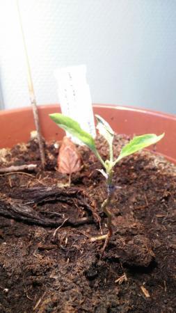 Appelboom wil niet groeien