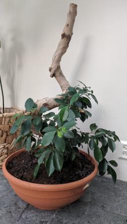 Bonsai Ficus groeit alleen aan onderkant