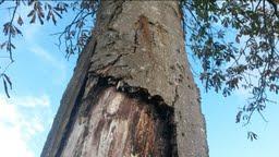 Zieke kastanjeboom