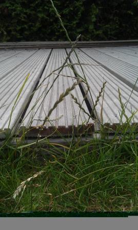 Hoe krijg ik deze sprieten uit mijn gras?