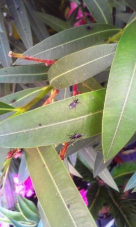 Vliegen op oleander