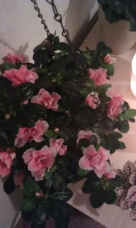 zalmkleurig azalea soort